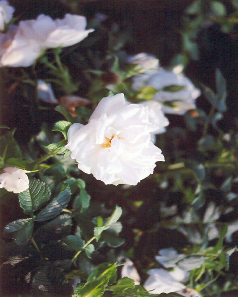 Double de Coubert White Rose #2