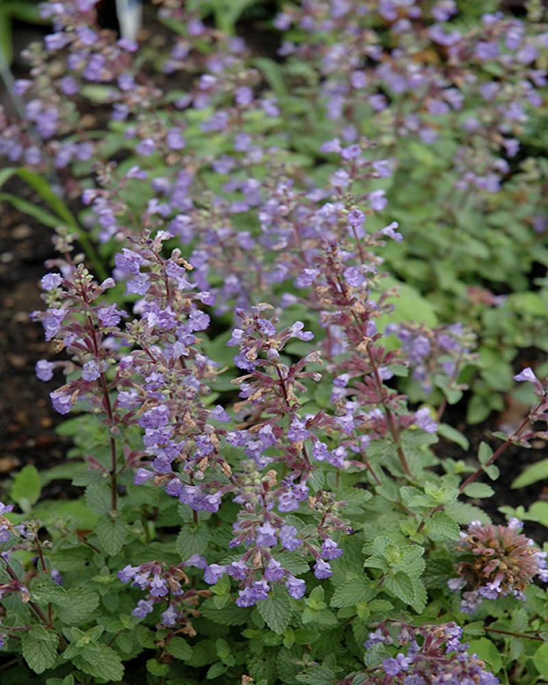 Purrsian Blue Catmint #1