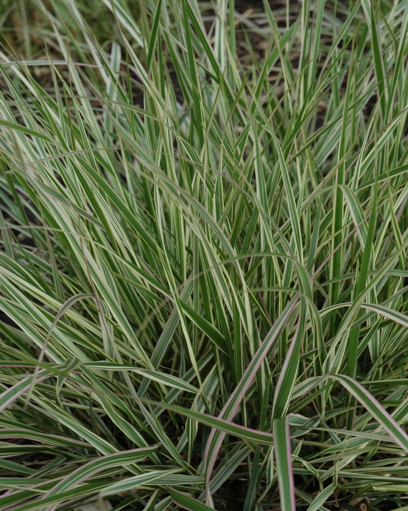 Variegated Feather Reed Grass #5
