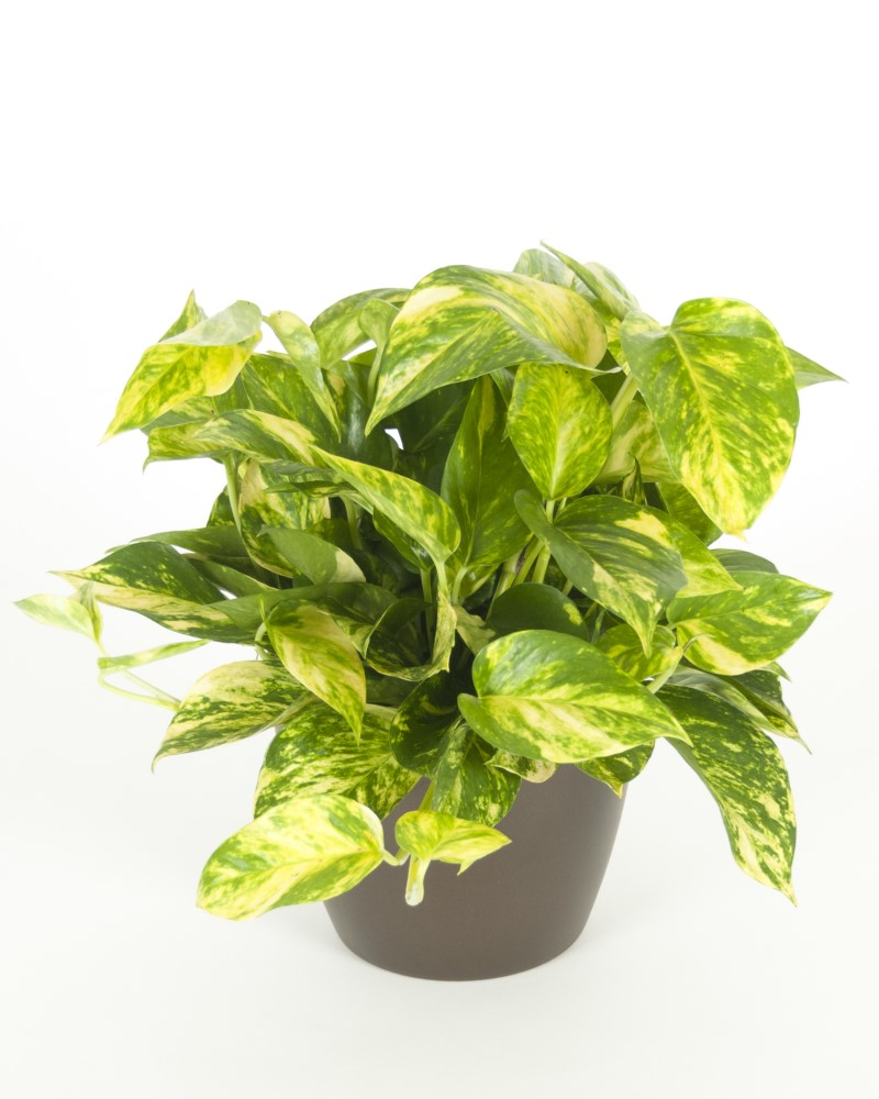Golden Pothos 6""