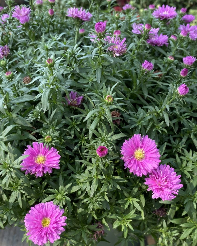 Aster Assorted 8""