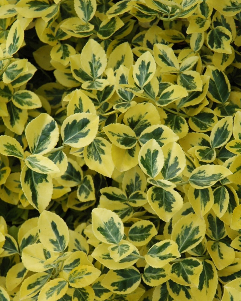Emerald 'n' Gold Euonymus #3