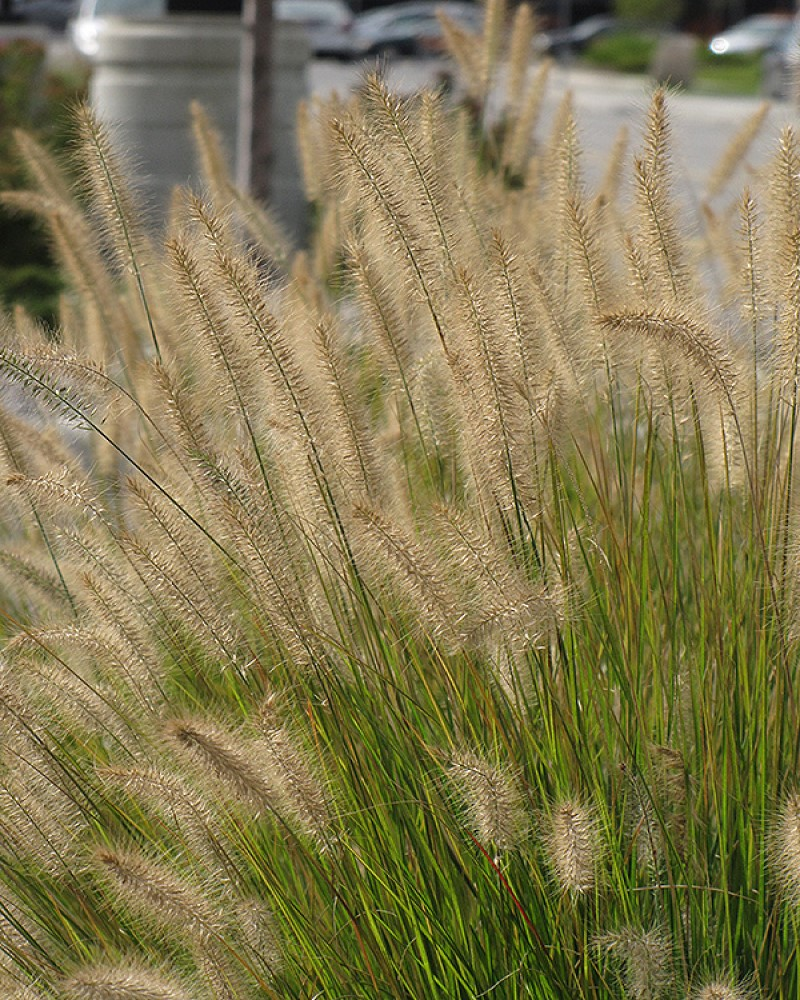 Hameln Dwarf Fountain Grass #1