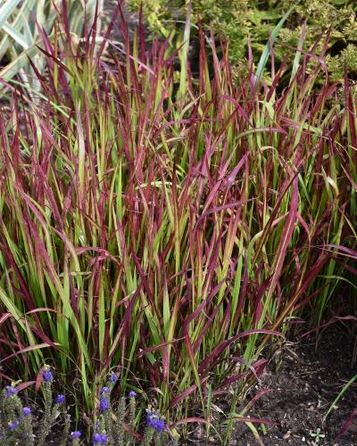 Japanese Bloodgrass #1