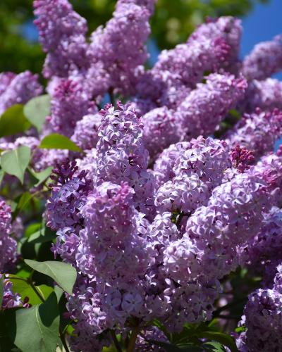Common Lilac #5