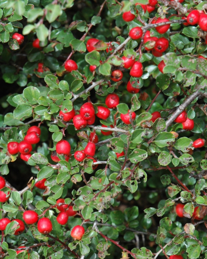 Cranberry Cotoneaster #5
