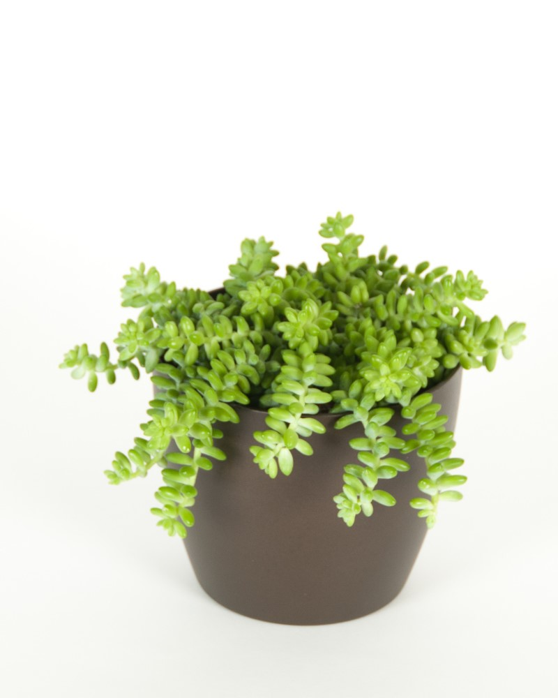 "Burro Tail 6"" - 50% OFF!"