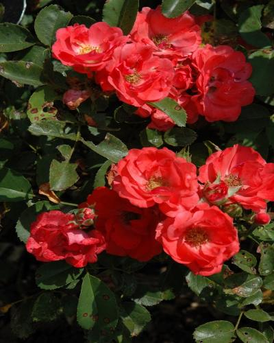 Coral Drift Rose #2