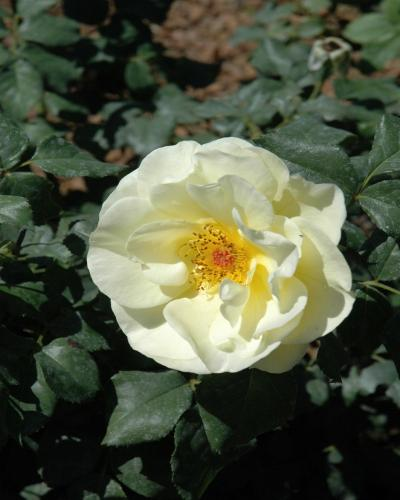 Easy Elegance High Voltage Rose #2