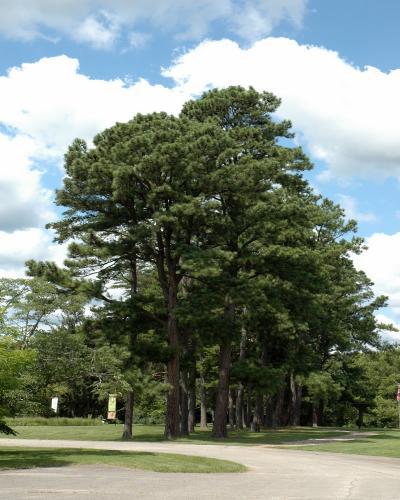 Austrian Pine #15