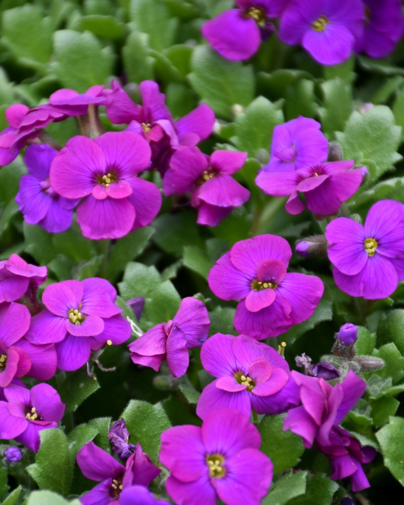 Aubrieta Audrey Purple Shades Rock Cress #1