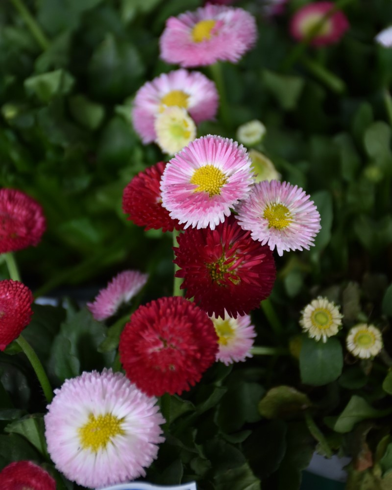 Bellisima English Daisy Mix #1