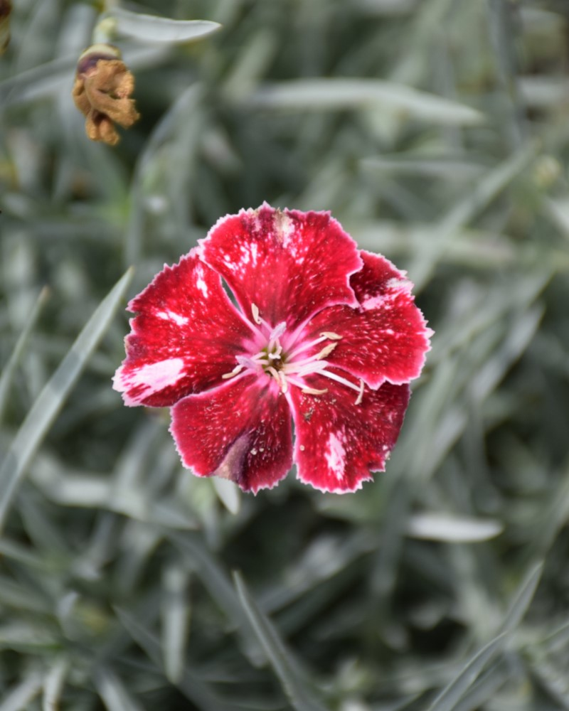 Dianthus Angel of Charm #1