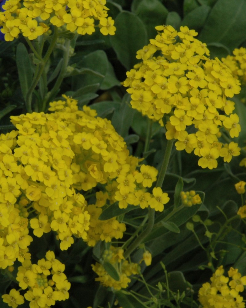 Alyssum Golden Spring #1