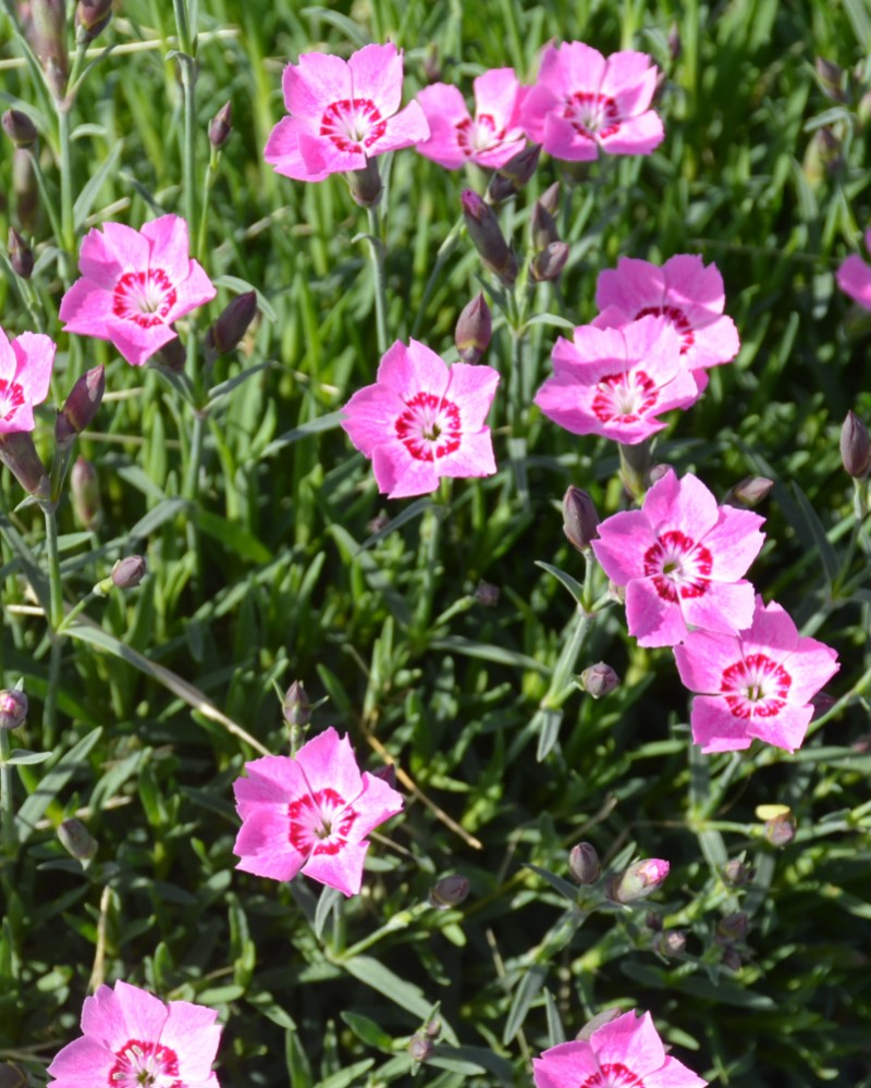 Dianthus Mountain Frost #1