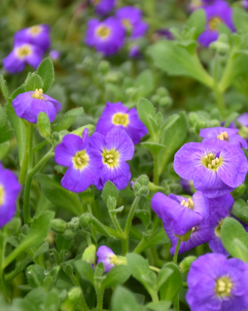 Aubrieta Audrey Blue Shades Rock Cress #1