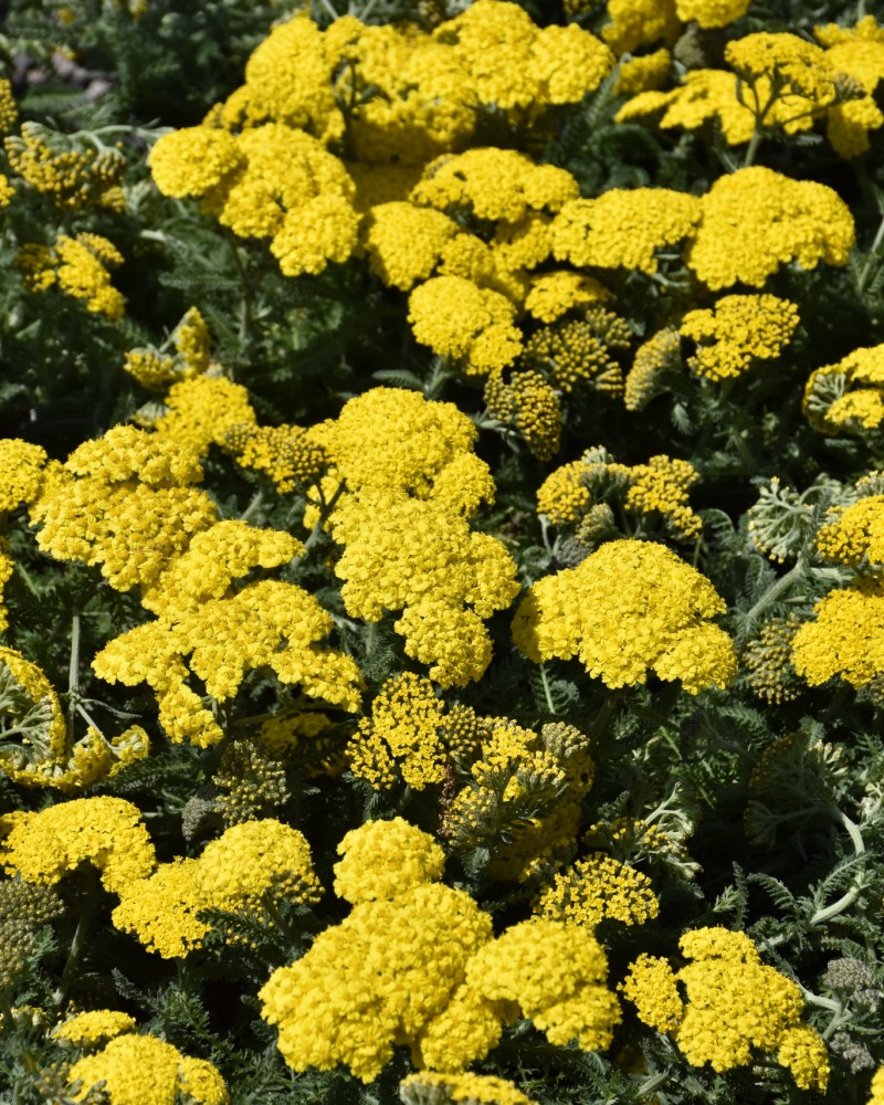 Achillea Little Moonshine Yarrow #1