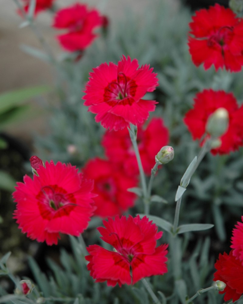 Dianthus Red Beauty #1