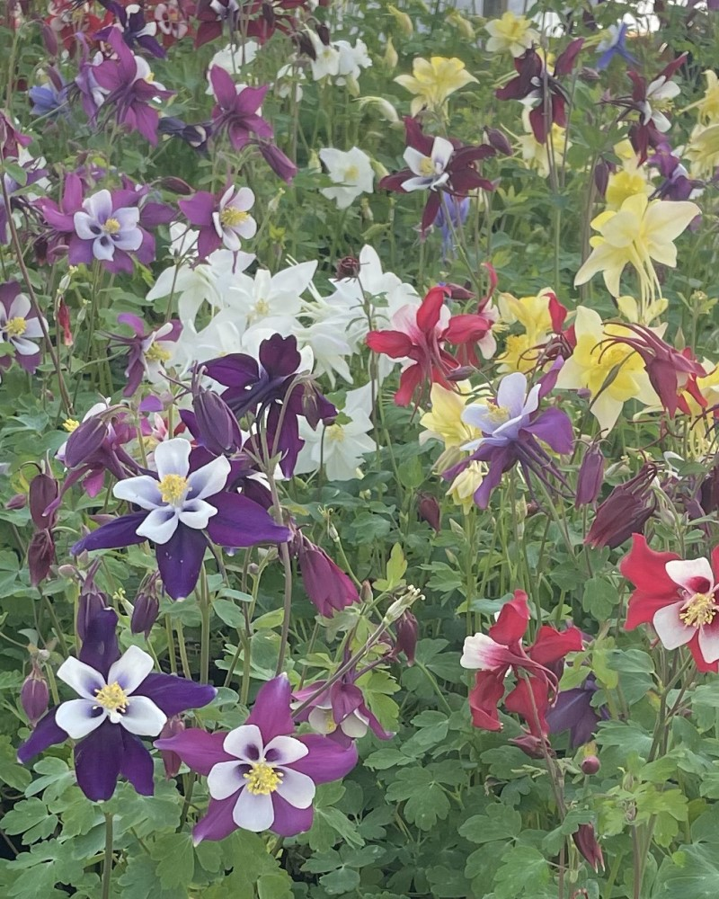 Aquilegia Early Bird Mix Columbine #1