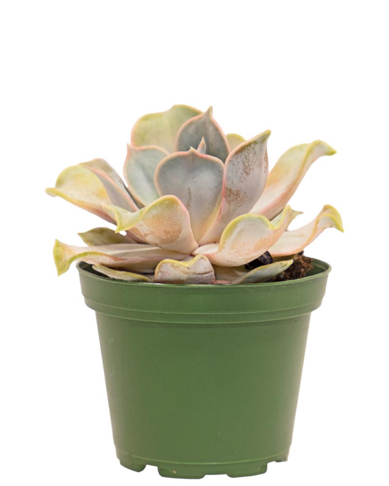 """Echeveria Succulent 3"""""""