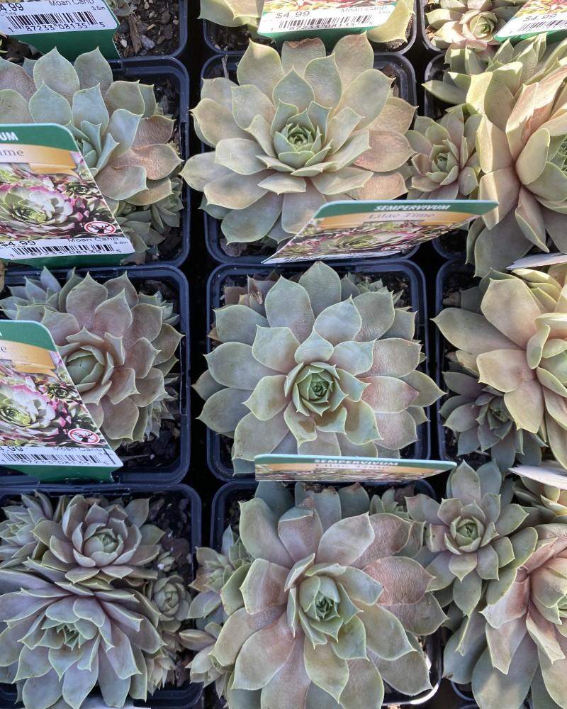 "Sempervivum Lilac Time 3.5"""