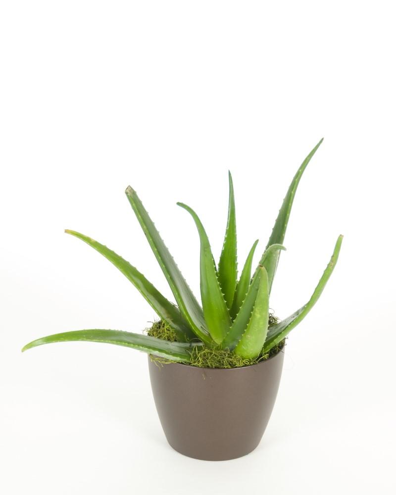 "Aloe Vera 3.5"""